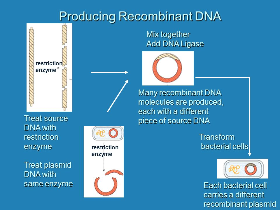 Producing Recombinant DNA restriction enzyme Treat source DNA with restriction enzyme Treat plasmid DNA with same enzyme restriction enzyme Mix together Add DNA Ligase Many recombinant DNA molecules are produced, each with a different piece of source DNA Transform bacterial cells Each bacterial cell carries a different recombinant plasmid