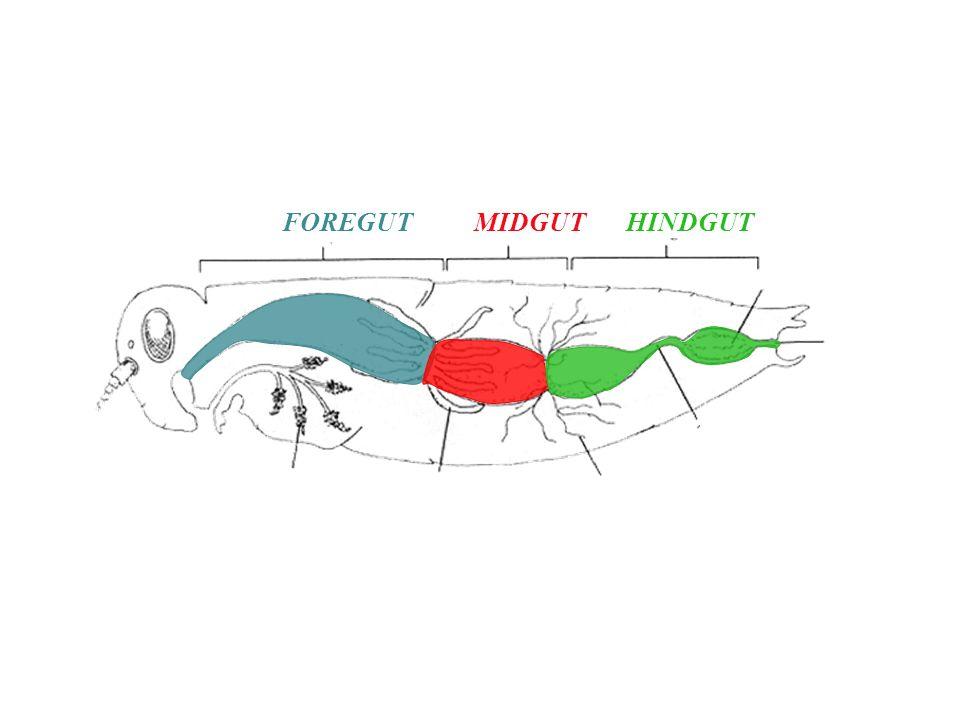 Insect digestive systems insect digestive system developmentally foregutmidguthindgut ccuart Gallery
