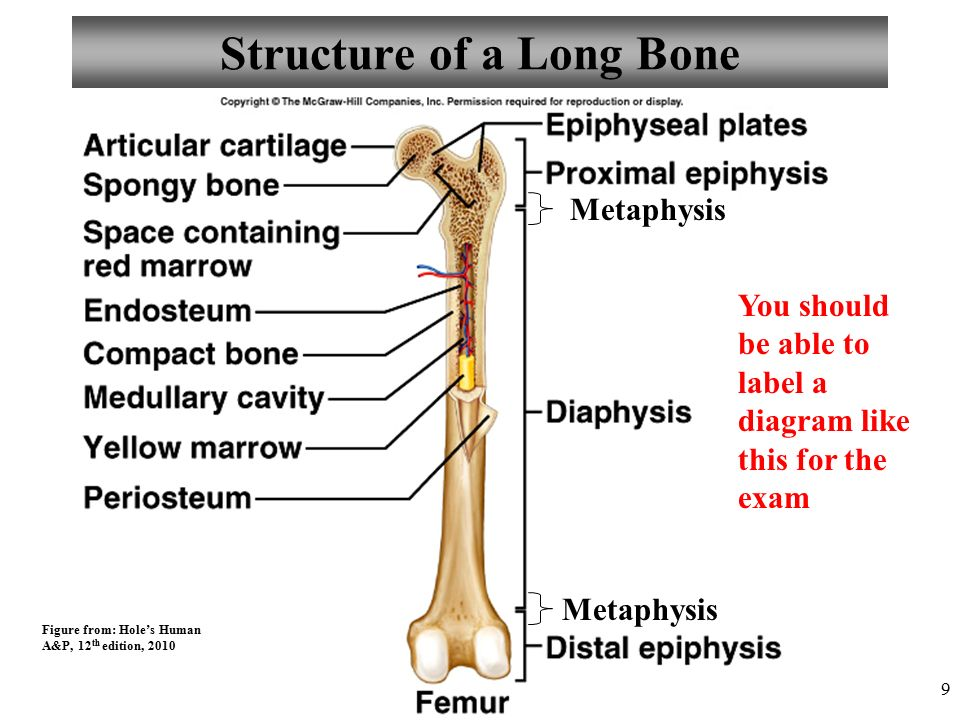 chapter 6 bone tissue