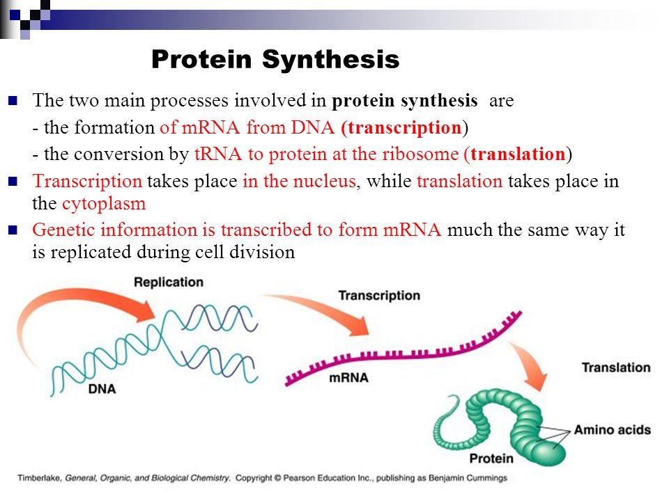 what are the 2 stages of protein synthesis I like to remember what happens in this middle stage of translation by its differs from prokaryotic protein synthesis primarily in translation.