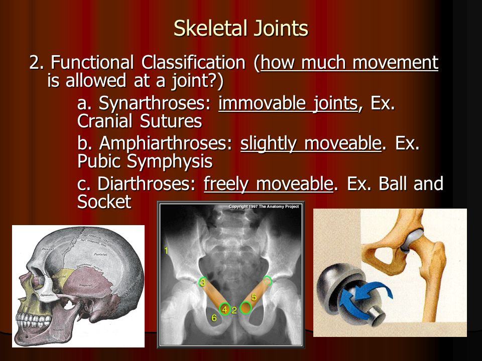Skeletal Joints 2. Functional Classification (how much movement is allowed at a joint ) a.
