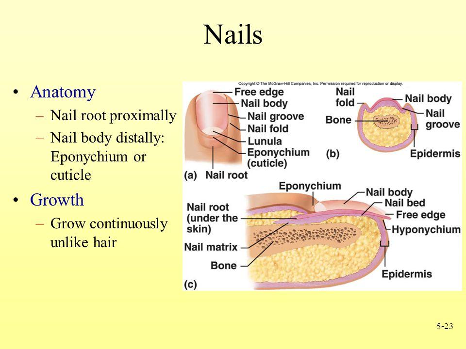 Nail Bed Anatomy Images - human body anatomy