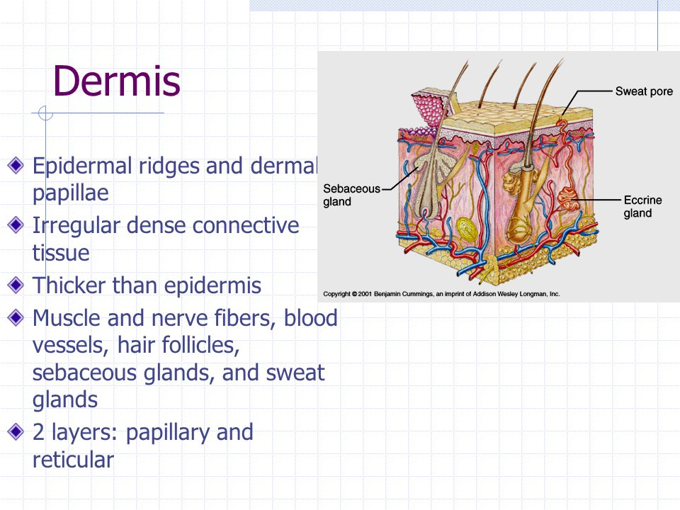 Dermis Epidermal ridges and dermal papillae Irregular dense connective tissue Thicker than epidermis Muscle and nerve fibers, blood vessels, hair follicles, sebaceous glands, and sweat glands 2 layers: papillary and reticular