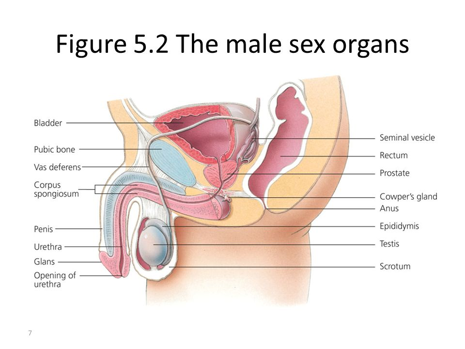 Figure 5.2 The male sex organs 7