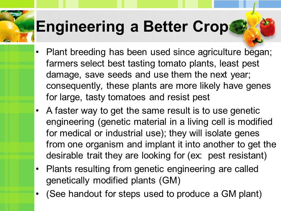 Engineering a Better Crop Plant breeding has been used since agriculture began; farmers select best tasting tomato plants, least pest damage, save seeds and use them the next year; consequently, these plants are more likely have genes for large, tasty tomatoes and resist pest A faster way to get the same result is to use genetic engineering (genetic material in a living cell is modified for medical or industrial use); they will isolate genes from one organism and implant it into another to get the desirable trait they are looking for (ex: pest resistant) Plants resulting from genetic engineering are called genetically modified plants (GM) (See handout for steps used to produce a GM plant)