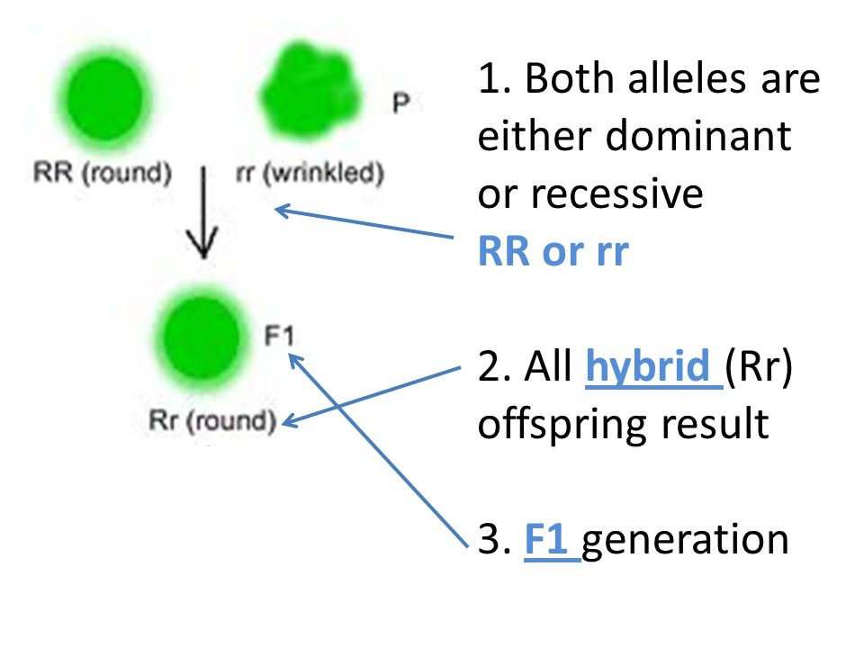 1. Both alleles are either dominant or recessive RR or rr 2.