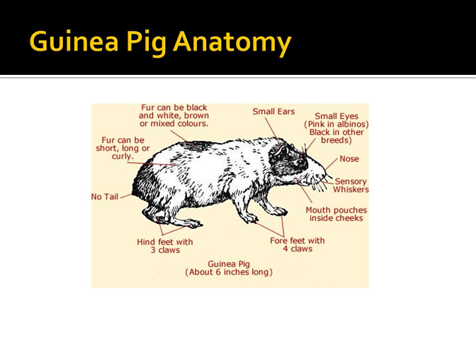 Modern Guinea Pig Anatomy Male Component - Anatomy And Physiology ...