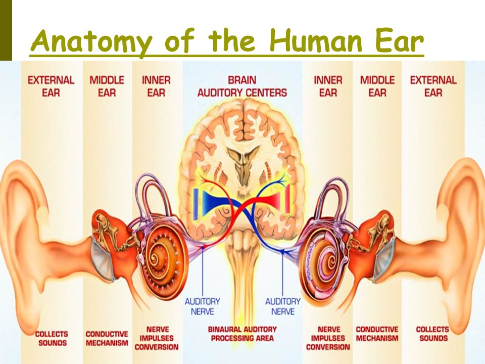 The Human Ear Anatomy Gallery - human anatomy organs diagram