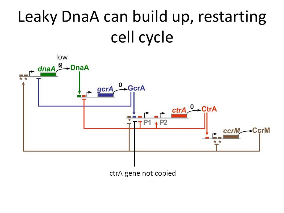 Leaky DnaA can build up, restarting cell cycle ctrA gene not copied 0 0 0 low X