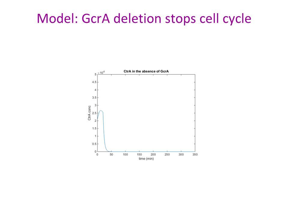Model: GcrA deletion stops cell cycle