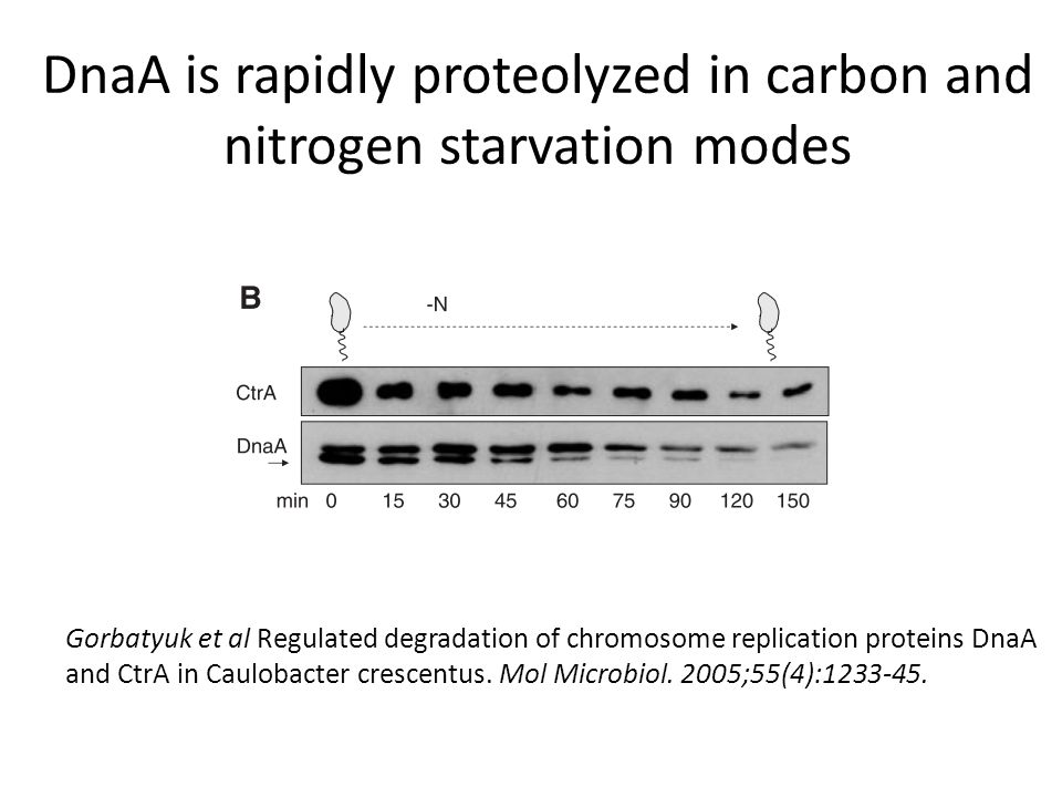 DnaA is rapidly proteolyzed in carbon and nitrogen starvation modes Gorbatyuk et al Regulated degradation of chromosome replication proteins DnaA and CtrA in Caulobacter crescentus.