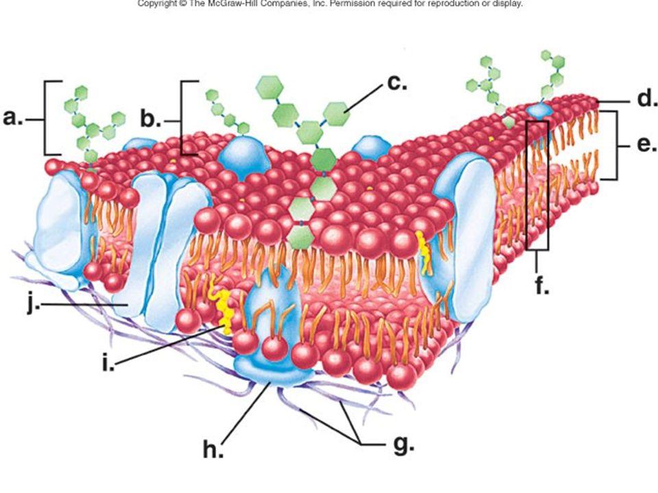 Phospholipid Bilayer Diagram Blank 13143 Loadtve