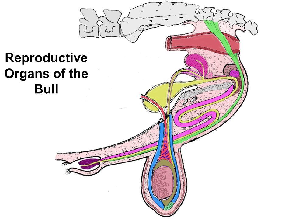 Sigmoid Flexure Bull