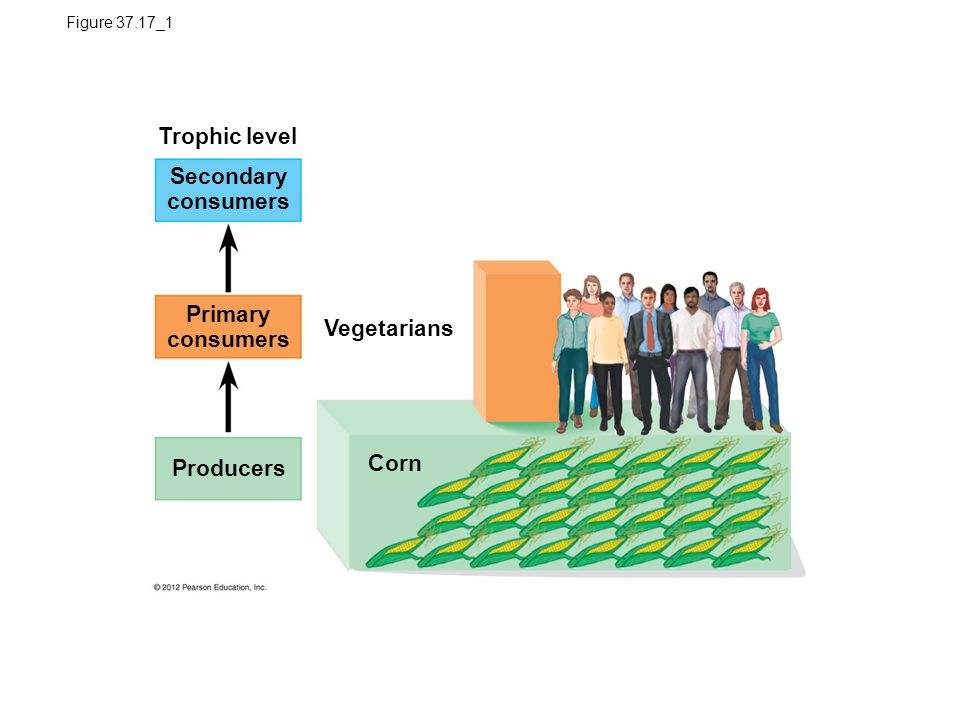 Figure 37.17_1 Trophic level Vegetarians Corn Primary consumers Secondary consumers Producers