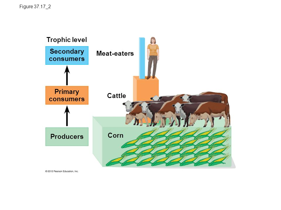 Figure 37.17_2 Corn Cattle Meat-eaters Trophic level Primary consumers Secondary consumers Producers