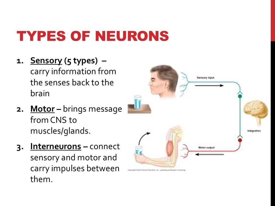 TYPES OF NEURONS 1.Sensory (5 types) – carry information from the senses back to the brain 2.Motor – brings message from CNS to muscles/glands.