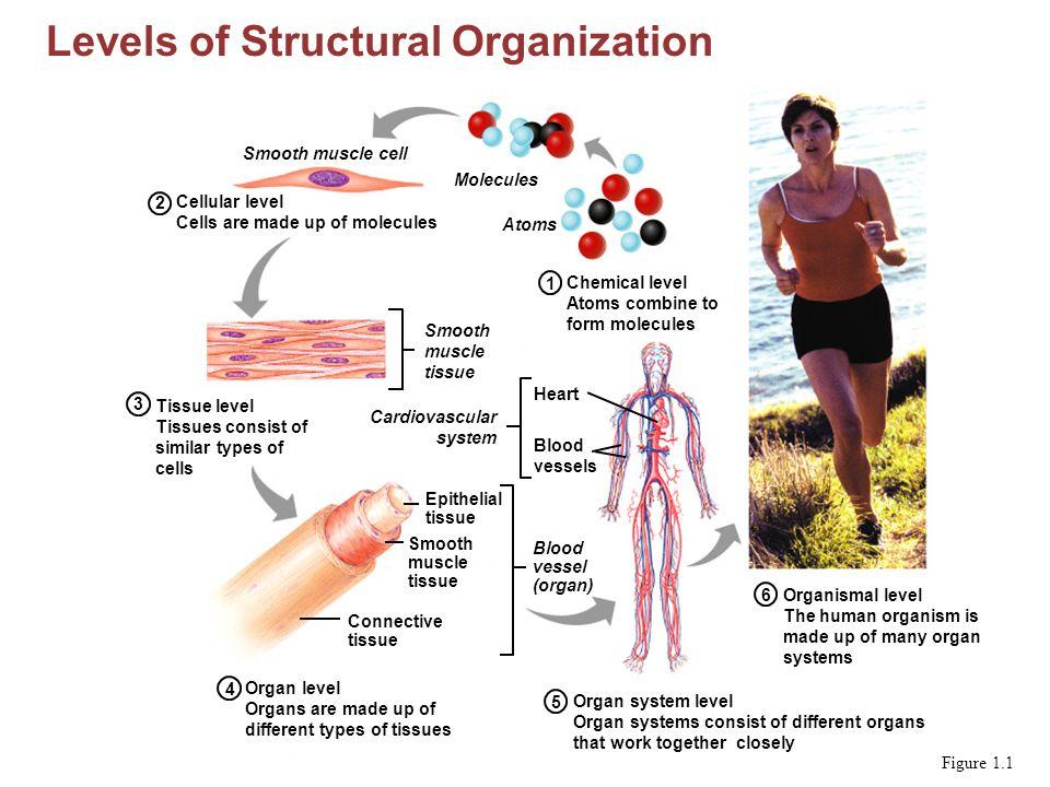 Human Anatomy & Physiology, Sixth Edition Elaine N. Marieb 1 ...