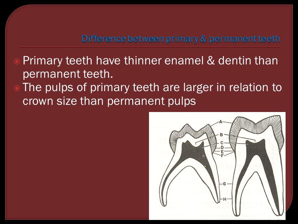  Primary teeth have thinner enamel & dentin than permanent teeth.