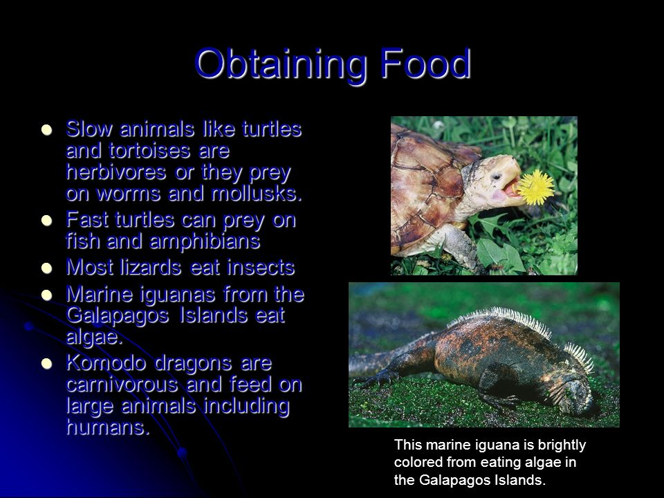 Obtaining Food Slow animals like turtles and tortoises are herbivores or they prey on worms and mollusks.