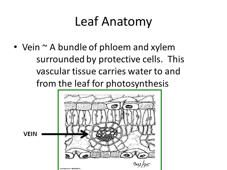 Leaf Anatomy Vein ~ A bundle of phloem and xylem surrounded by protective cells.