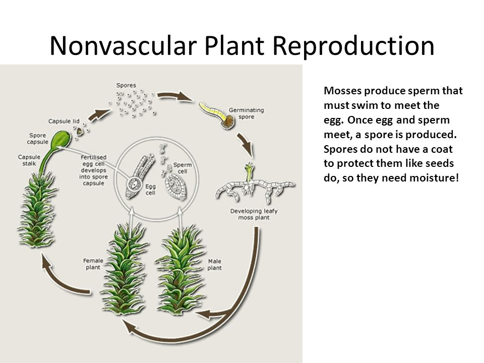 Nonvascular Plant Reproduction Mosses produce sperm that must swim to meet the egg.