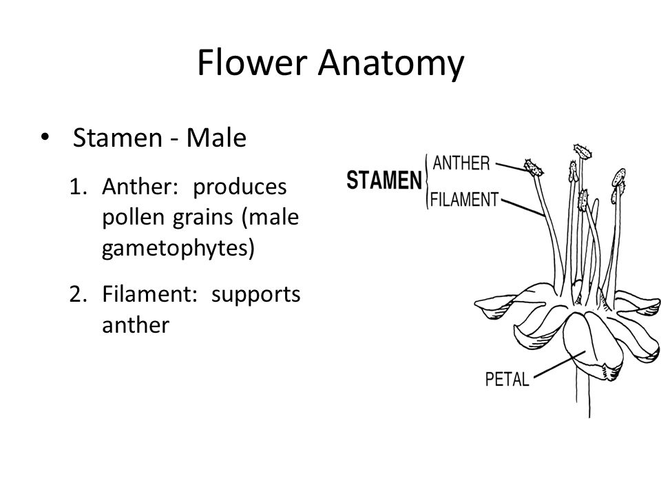 Flower Anatomy Stamen - Male 1.Anther: produces pollen grains (male gametophytes) 2.Filament: supports anther