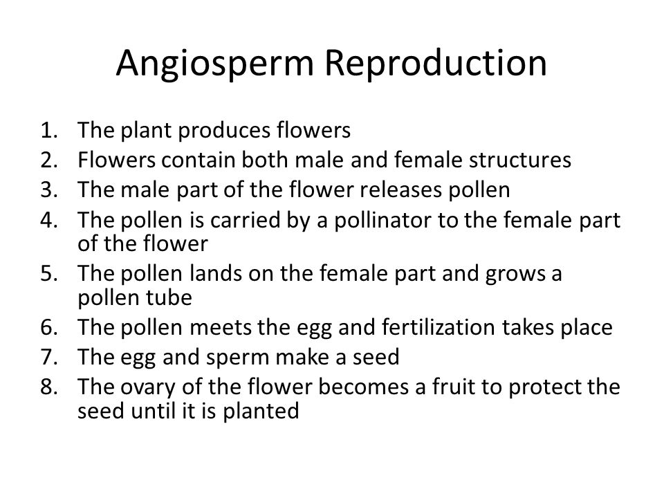 Angiosperm Reproduction 1.The plant produces flowers 2.Flowers contain both male and female structures 3.The male part of the flower releases pollen 4.The pollen is carried by a pollinator to the female part of the flower 5.The pollen lands on the female part and grows a pollen tube 6.The pollen meets the egg and fertilization takes place 7.The egg and sperm make a seed 8.The ovary of the flower becomes a fruit to protect the seed until it is planted