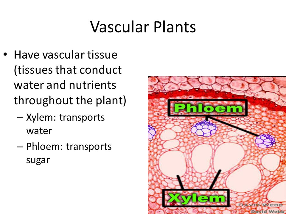 Vascular Plants Have vascular tissue (tissues that conduct water and nutrients throughout the plant) – Xylem: transports water – Phloem: transports sugar