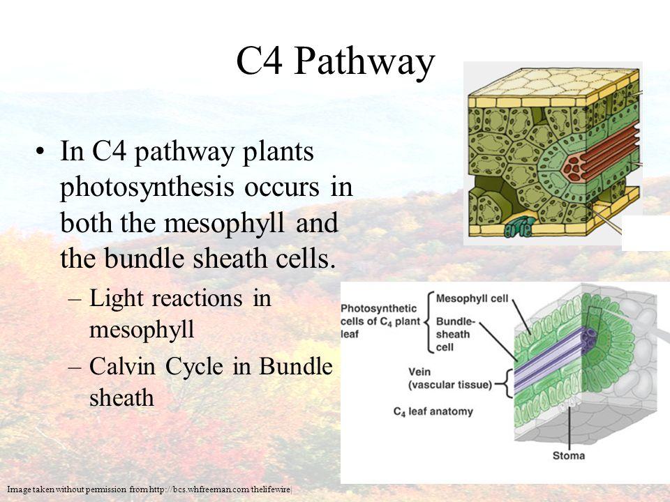C3 leaf anatomy 6096319 - togelmaya.info
