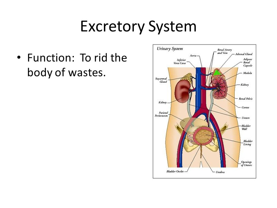 Excretory System Function: To rid the body of wastes.