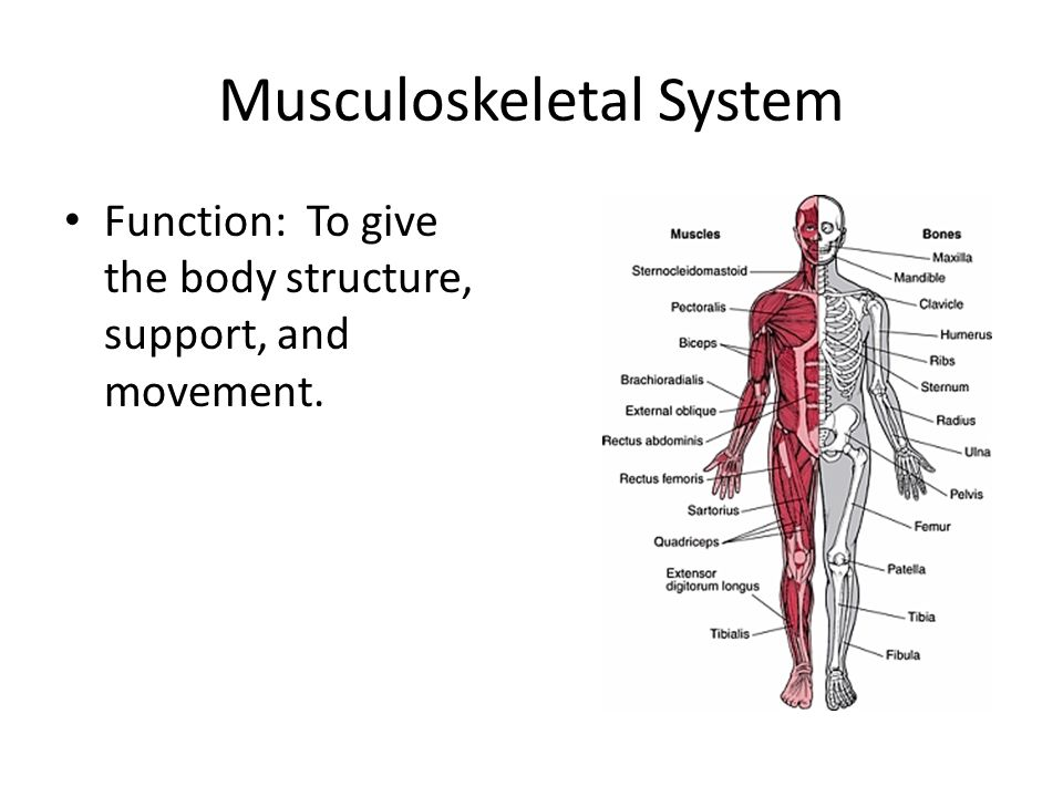 Musculoskeletal System Function: To give the body structure, support, and movement.