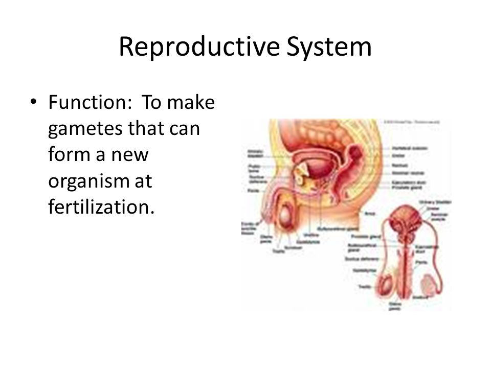 Reproductive System Function: To make gametes that can form a new organism at fertilization.
