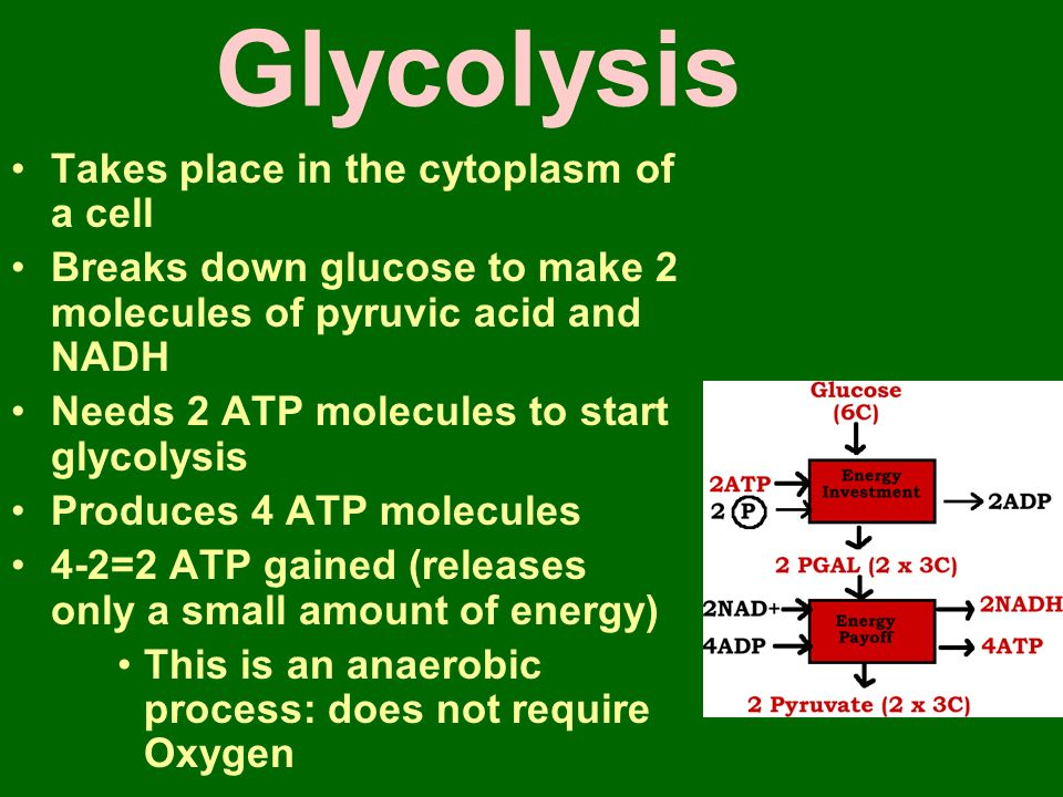 Glycolysis Takes place in the cytoplasm of a cell Breaks down glucose to make 2 molecules of pyruvic acid and NADH Needs 2 ATP molecules to start glycolysis Produces 4 ATP molecules 4-2=2 ATP gained (releases only a small amount of energy) This is an anaerobic process: does not require Oxygen