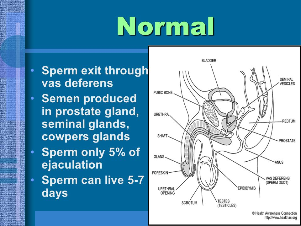 Sperm exit through vas deferens Semen produced in prostate gland, seminal glands, cowpers glands Sperm only 5% of ejaculation Sperm can live 5-7 days Normal