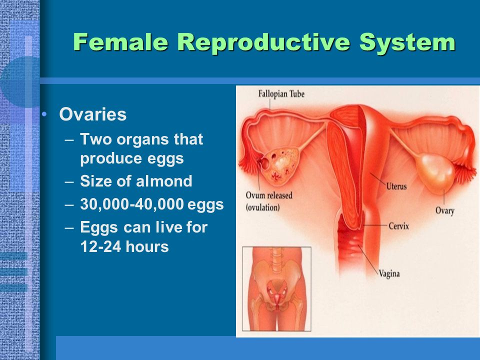 Female Reproductive System Ovaries –Two organs that produce eggs –Size of almond –30,000-40,000 eggs –Eggs can live for hours