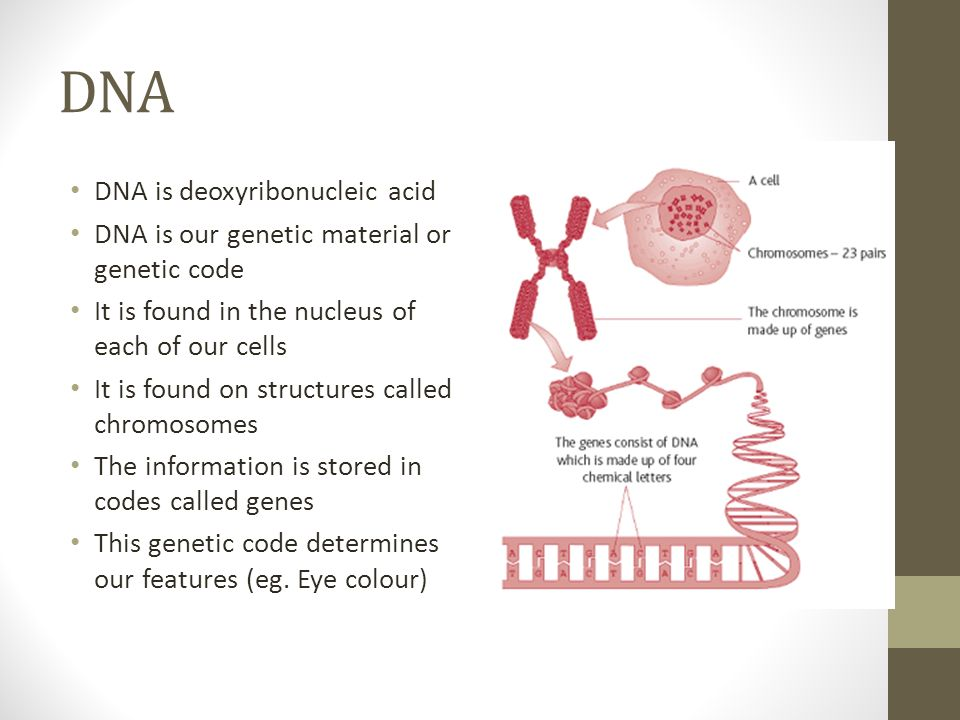 DNA DNA is deoxyribonucleic acid DNA is our genetic material or genetic code It is found in the nucleus of each of our cells It is found on structures called chromosomes The information is stored in codes called genes This genetic code determines our features (eg.