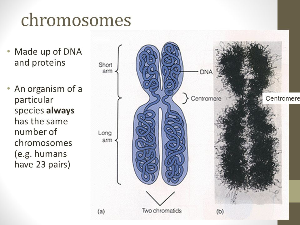 chromosomes Made up of DNA and proteins An organism of a particular species always has the same number of chromosomes (e.g.