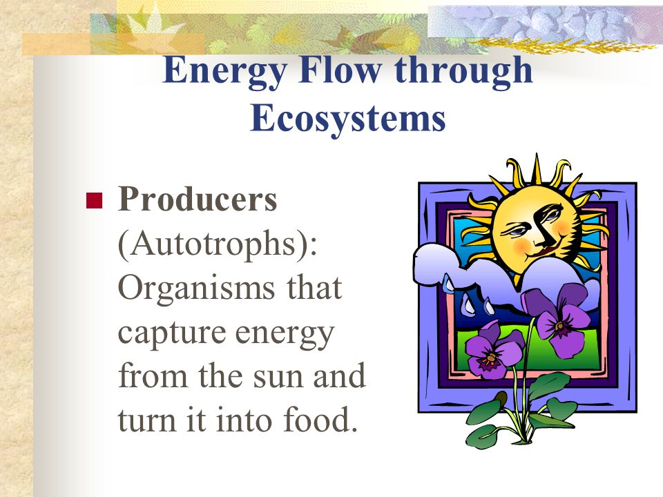 Energy Flow through Ecosystems Producers (Autotrophs): Organisms that capture energy from the sun and turn it into food.