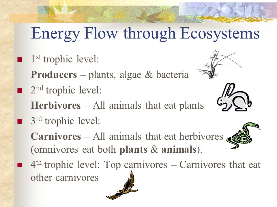 Energy Flow through Ecosystems 1 st trophic level: Producers – plants, algae & bacteria 2 nd trophic level: Herbivores – All animals that eat plants 3 rd trophic level: Carnivores – All animals that eat herbivores (omnivores eat both plants & animals).