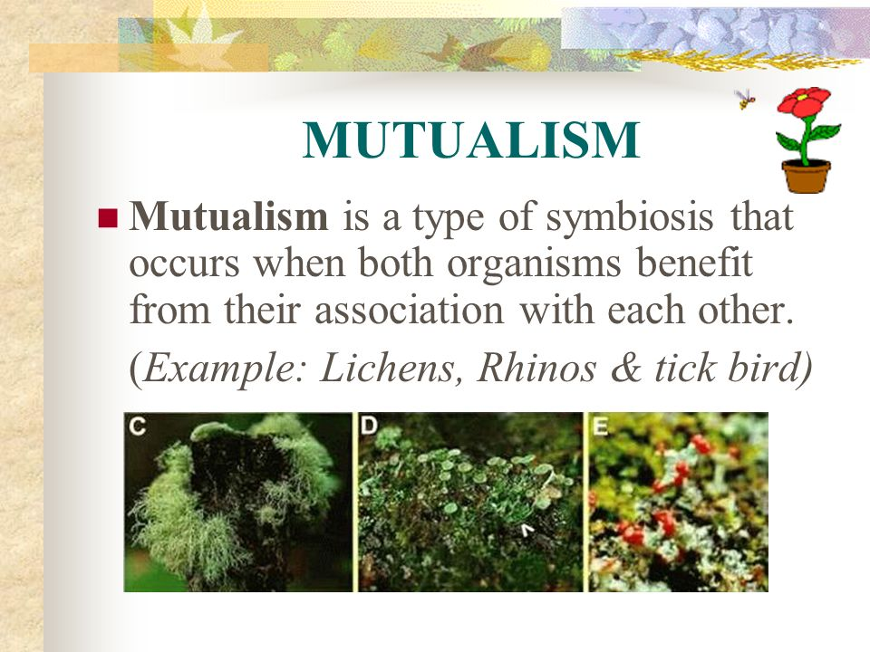 MUTUALISM Mutualism is a type of symbiosis that occurs when both organisms benefit from their association with each other.