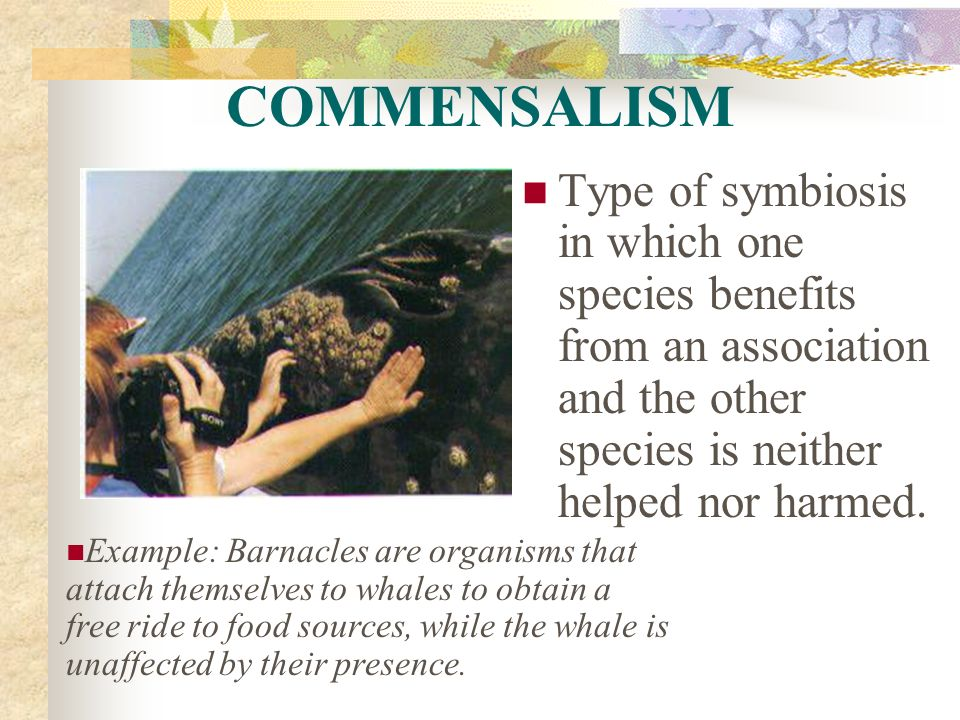 COMMENSALISM Type of symbiosis in which one species benefits from an association and the other species is neither helped nor harmed.