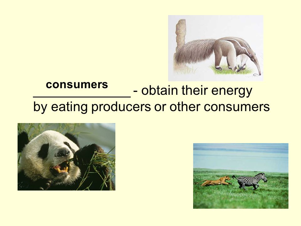 _____________ - obtain their energy by eating producers or other consumers consumers