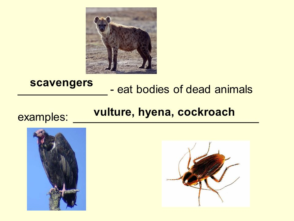 ______________ - eat bodies of dead animals examples: _____________________________ scavengers vulture, hyena, cockroach