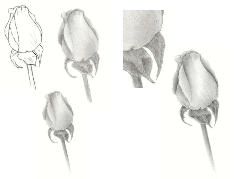 Line drawing 1 the first step in creating a realistic rose pencil 2 line drawing 1 the first step in creating a realistic rose pencil drawing is to make an accurate line drawing make a quick sketch and then correct that ccuart Choice Image