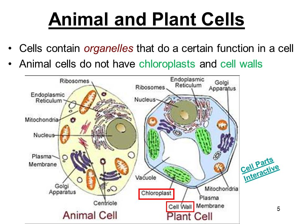 chloroplasts are organelles present in The reactions for photosynthesis occur in organelles called chloroplasts chlorophyll must be present 5 the cell organelle where photosynthesis occurs.