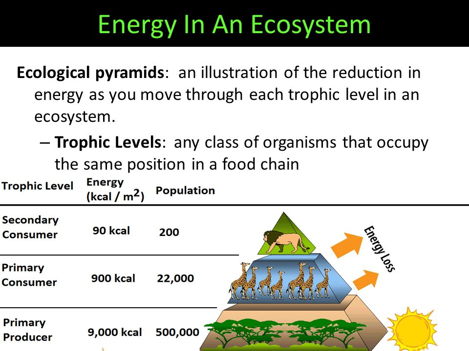 Ecological pyramids: an illustration of the reduction in energy as you move through each trophic level in an ecosystem.