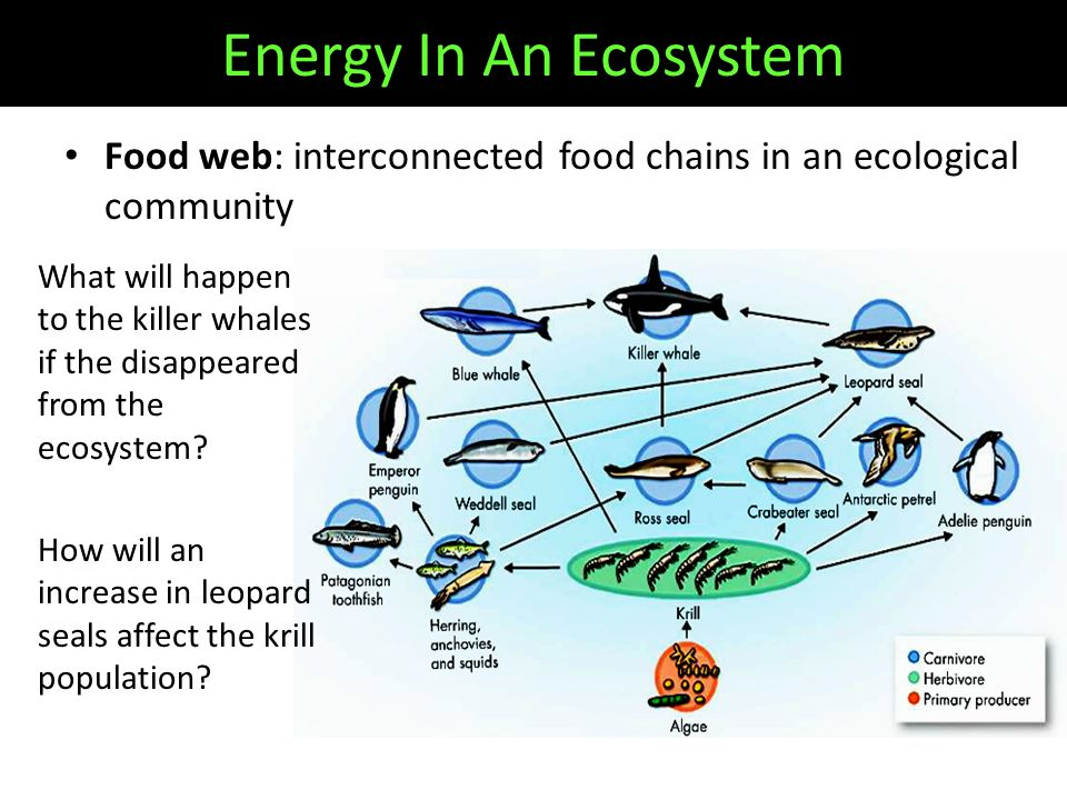 Food web: interconnected food chains in an ecological community What will happen to the killer whales if the disappeared from the ecosystem.
