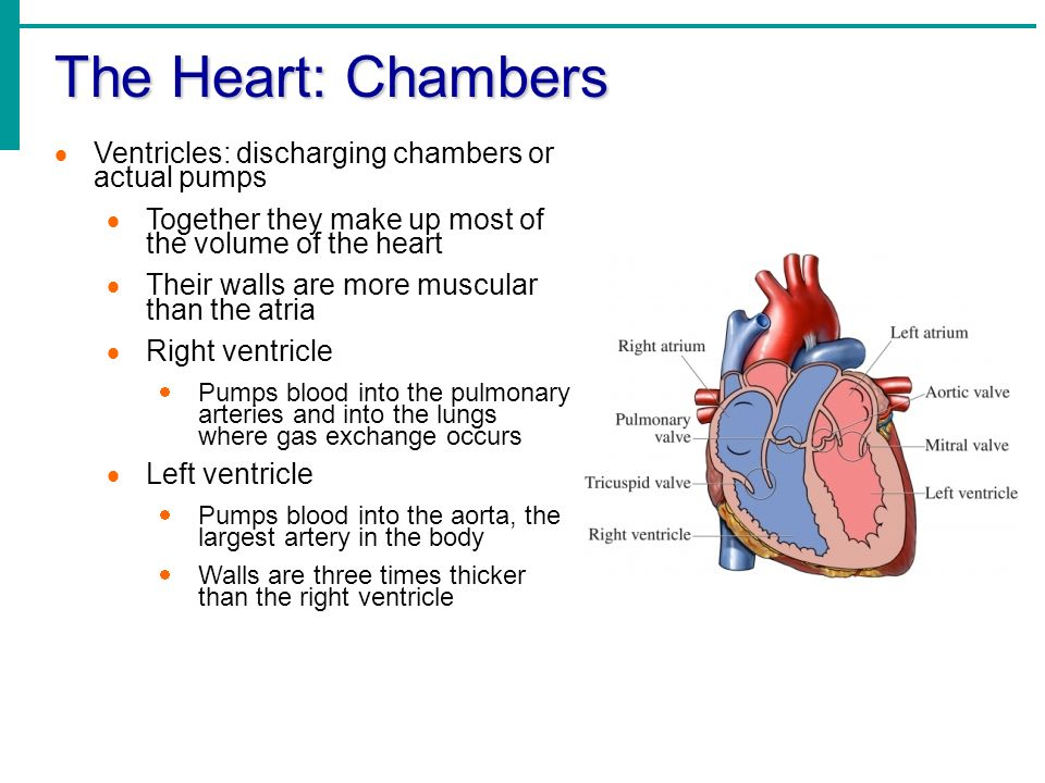 Chapter 11 the cardiovascular system the cardiovascular system a 6 the ccuart Images