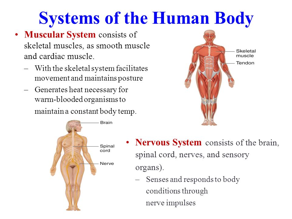 Anatomy intorduction to the human body Coursework Academic Writing ...
