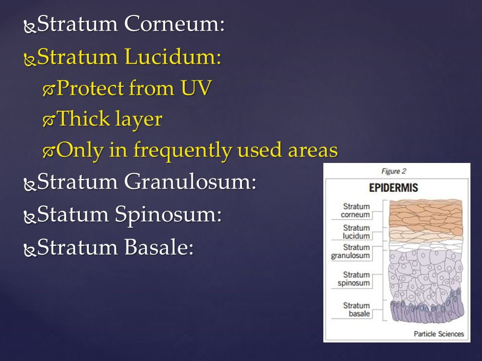  Stratum Corneum:  Stratum Lucidum:  Protect from UV  Thick layer  Only in frequently used areas  Stratum Granulosum:  Statum Spinosum:  Stratum Basale: